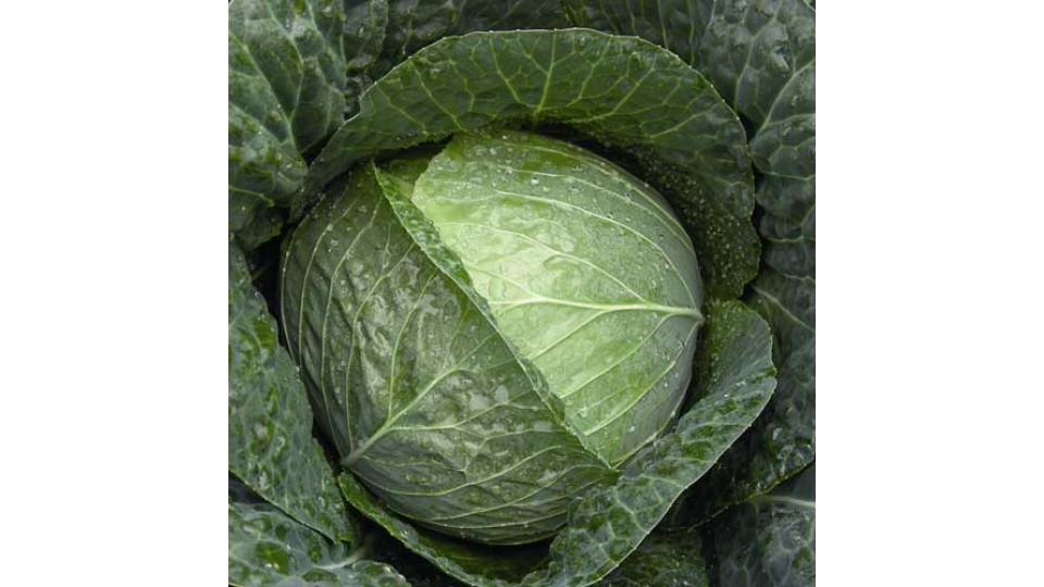 Cabbage Primo uk